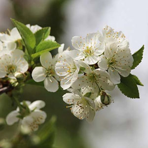 Prairie Cherry Bush